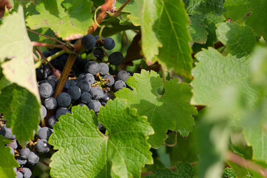 Grapes and vineyards, explore the Charlottesville wineries and other activities from a Guesthouses property