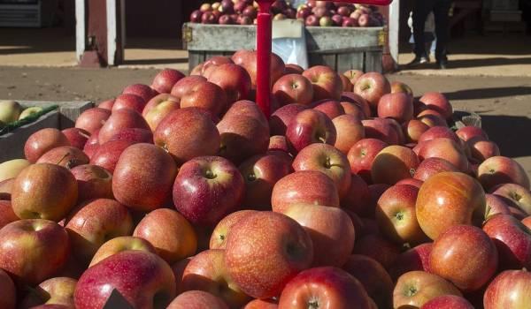Charlottesville Gala Apples